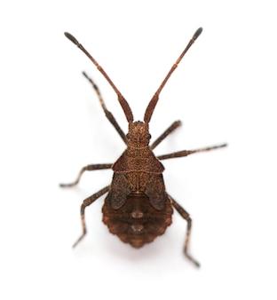 Dock bug, coreus marginatus, voor witte achtergrond