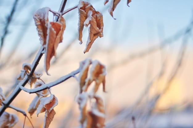 Dode bladeren in de sneeuw tegen de ondergaande zon. een zachte winterzonsondergang
