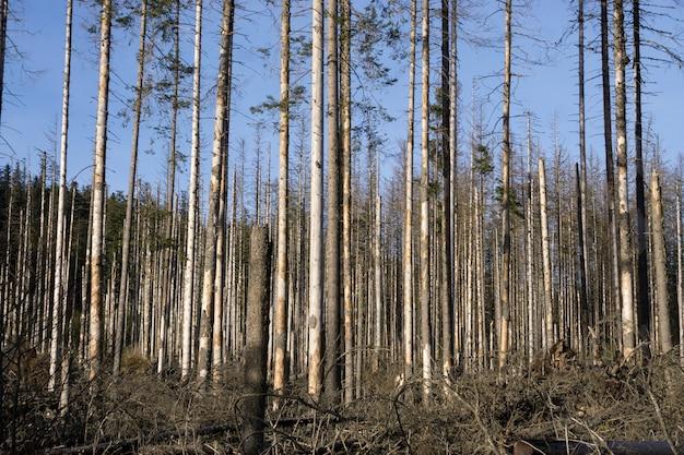 Dode bomen in een droog bos. opwarming van de aarde