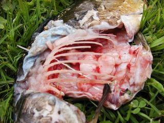 Dode vis, vlees