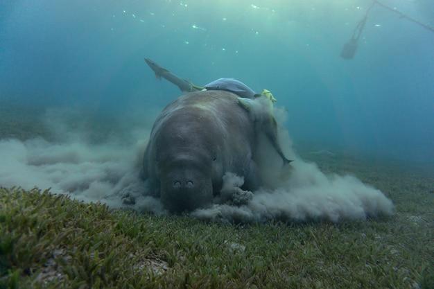 Doejong of zeekoe die zeegras eten op de bodem van de oceaan