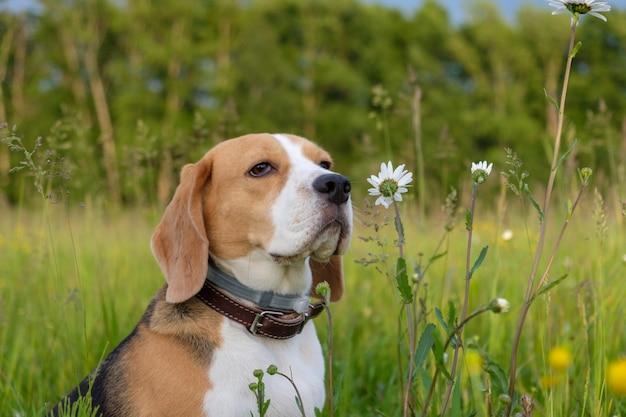 Dog beagle op een wandeling in de zomer op een groene weide met wilde margrieten