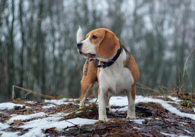Dog beagle tijdens een wandeling in de winterbossen met witte sneeuwbanken en besneeuwde bomen