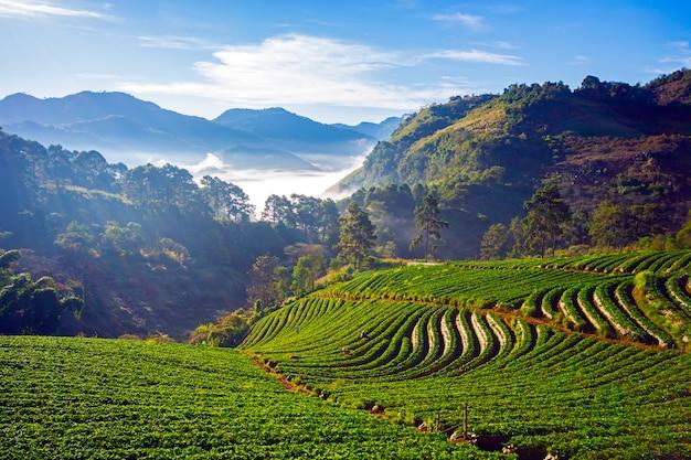 Doi ang khang landscape van aardbeituin met zonsopgang in doi ang khang, chiang mai, thailand