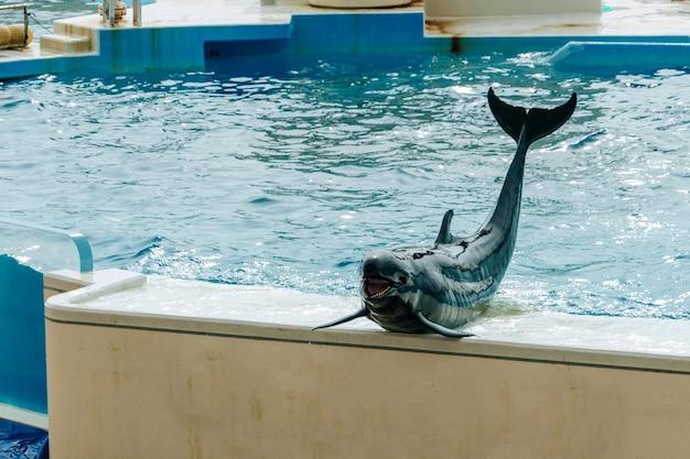 Dolfijn die op het podium tijdens vermaak glimlachen toont bij aquarium
