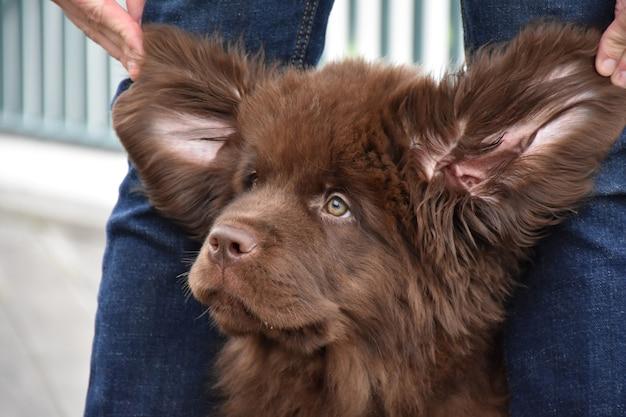 Dom uitziende chocoladebruine puppy die eruitziet als een ewok