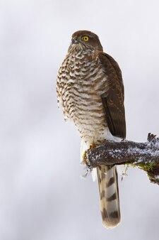 Dominante euraziatische sperwer zittend op een tak in de winter