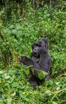 Dominante mannelijke berggorilla in regenwoud. oeganda. bwindi impenetrable forest national park.