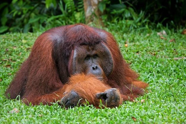 Dominante mannelijke orang-oetan ligt op de grond. detailopname. indonesië. het eiland kalimantan (borneo).