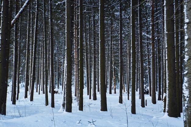 Donker bos, loop in het bos voor kerstmis