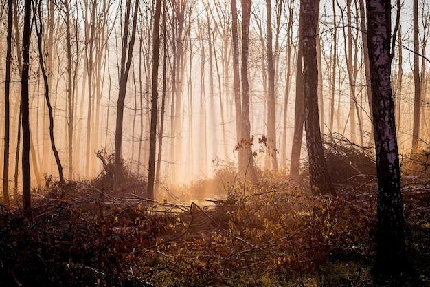Donker mystiek bos in de herfst van de ochtend, licht dringt door de mist