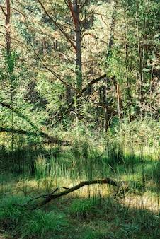 Donker naaldboombos in zonnige dag. droge addertje onder het gras op achtergrond van hoge sparren en pijnbomen. naaldbomen in zonneschijn. sfeervol fantasielandschap in groene levendige tonen. zonlicht tussen takken. sprookje.