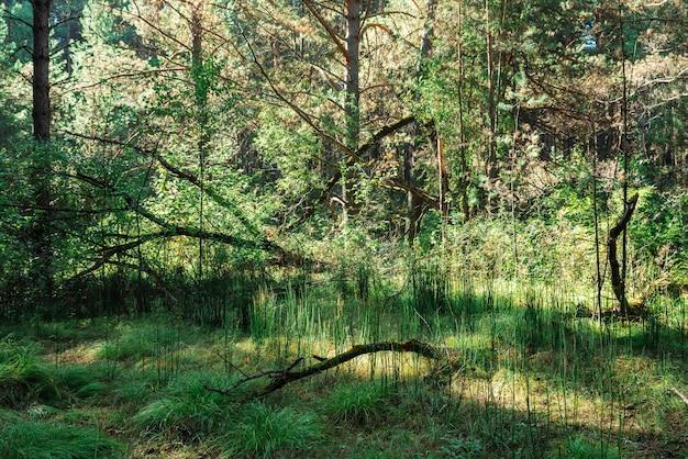 Donker naaldboombos in zonnige dag. droge addertje onder het gras op achtergrond van hoge sparren en pijnbomen.