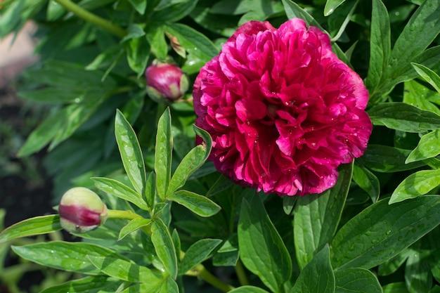 Donker roze pauw kleur pioen of nar rode paeony bloemen met toppen en bladeren in de zomertuin close-up met selectieve aandacht. macrofoto van bourgondische pioenrozen op groene bladeren vage achtergrond