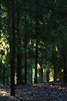 Donker sparrenbos met openingen aan de voorkant.