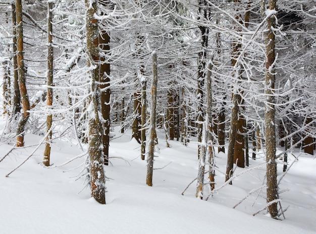 Donker wild winterbos met rijp en besneeuwde sparren