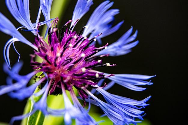 Donkerblauwe korenbloem die op donker wordt geïsoleerd