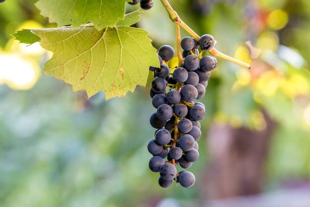 Donkerblauwe rijpende druivencluster verlicht door felle zon