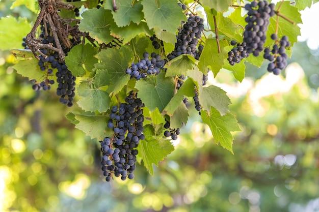 Donkerblauwe rijpende druivenclusters verlicht door felle zon