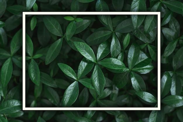 Donkere achtergrondafbeelding. tapijt van maagdenpalm bladeren met wit rechthoekig frame. bovenaanzicht. plat leggen, ruimte kopiëren