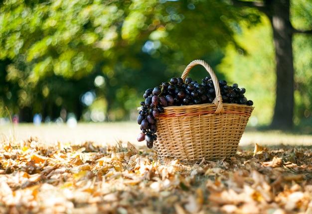 Donkere druiven bij de mand bij herfstbos. bokeh-achtergrond. herfst en september oogstconcept.