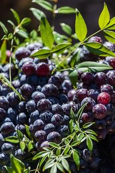 Donkere druiven in een mand. druiven oogsten. rode wijndruiven