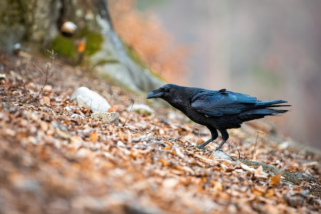 Donkere gemeenschappelijke raaf staande in bladeren in de herfst natuur