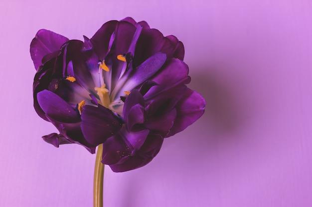 Donkere paarse tulp op een roze achtergrond