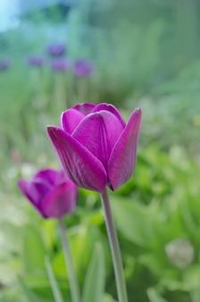 Donkere violette tulp greuze dichte omhooggaand