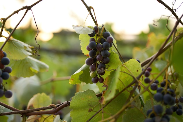 Donkere wijndruivensoort biologisch