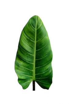 Donkergroen blad hartvorm philodendron imbe
