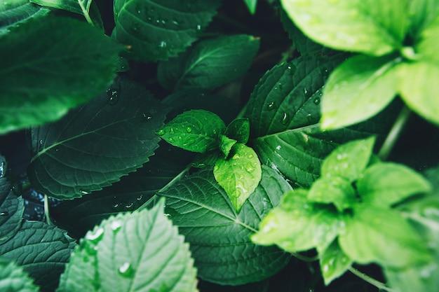Donkergroen blad van een gezonde plant met regendruppels. groen blad met waterdruppels voor achtergrond