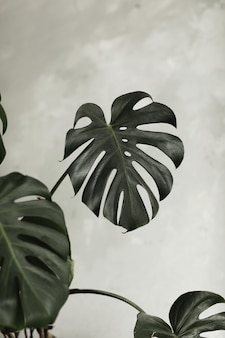 Donkergroene bladeren van monsteraplant