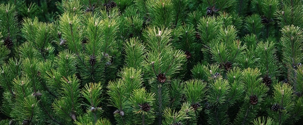 Donkergroene dennenboom takken brede banner, scrub berg dennen close-up