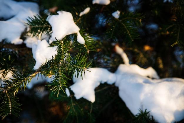Donkergroene sparrentakken die met sneeuw, de winterachtergrond worden behandeld