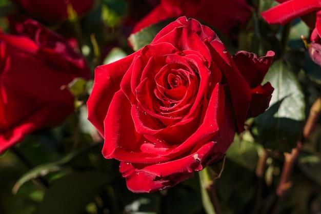 Donkerrode natte roos met waterdruppels. rode roos in de tuin. huwelijksdag. rozenblaadjes en harten valentijn cadeau. bruiloft grens. gefeliciteerd boeket. bloemen aanwezig. grote bos