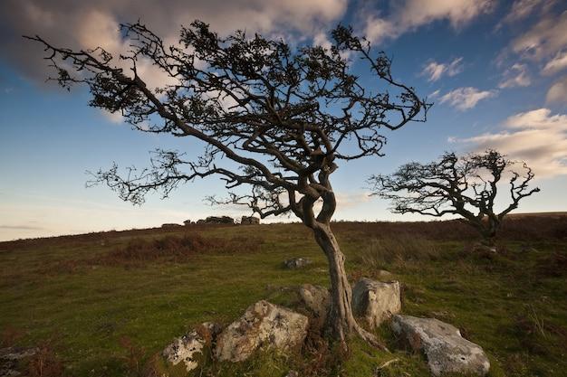 Door de wind meegevoerde bomen in het dartmoor national park onder het zonlicht in devon.