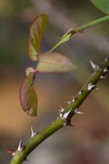 Doorn van roos in een tuin