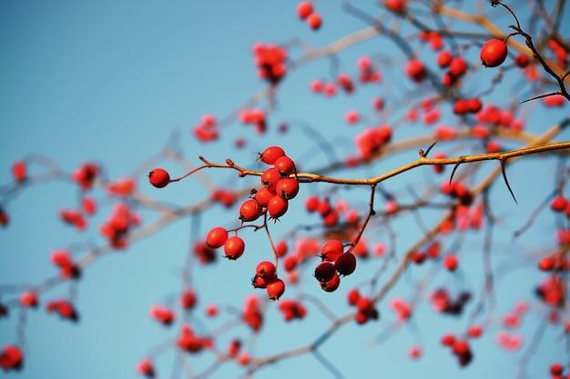 Doorntakjes met rode rijpe bessen op blauwe hemelachtergrond in het herfstpark in november