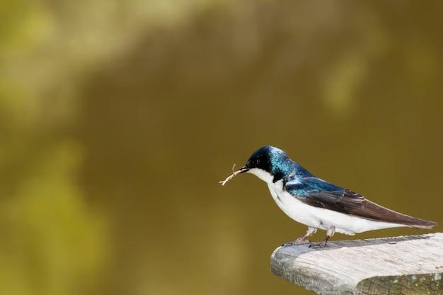 Doorslikken met takje in bek om als materiaal voor een nieuw nest te gebruiken