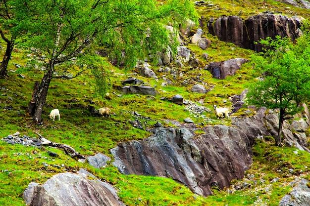 Dorpsgeiten grazen op de rotsachtige heuvel tussen de bomen