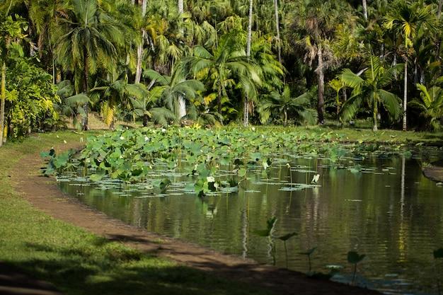 Douchevormige vervaagde lotusbloem in sir seewoosagur ramgoolam botanical garden, pamplemousse, mauritius