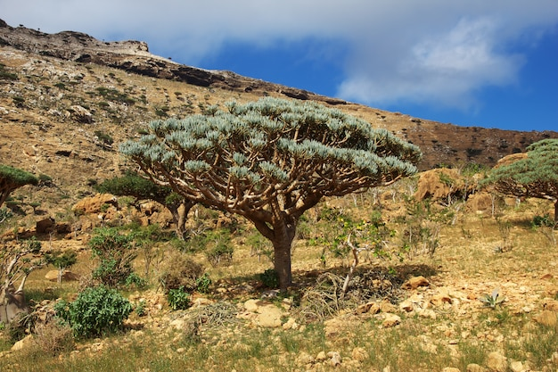 Draakboom, bloedboom op homhil-plateau, socotra-eiland, indische oceaan, yemen
