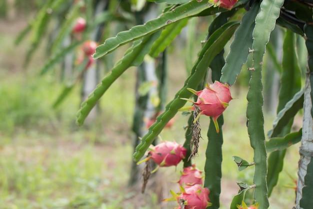 Draakfruit op installatie, ruw pitaya-fruit op boom