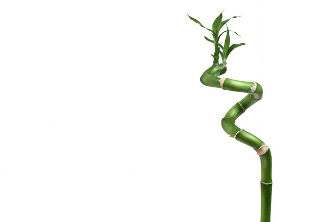 Dracaena stengel gelukkig bamboe met bladeren geïsoleerd op een witte achtergrond