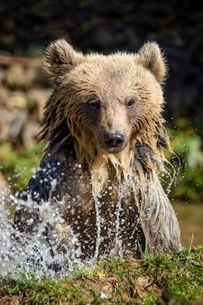 Dragen in het water, afschudden. mooi dier in bosmeer. gevaarlijke dieren in de rivier. wildlife scene met ursus arctos