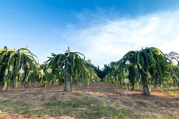 Dragon fruit on plant, het is een populaire plantage in zuidoost-azië