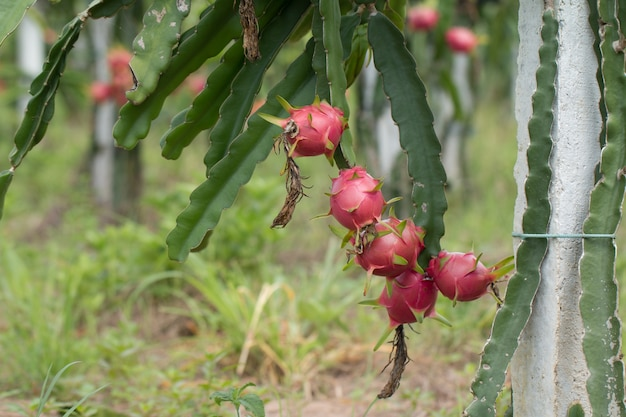 Dragon fruit op plant, raw pitaya fruit op boom, a pitaya of pitahaya is de vrucht van verschillende cactus soorten inheems in amerika