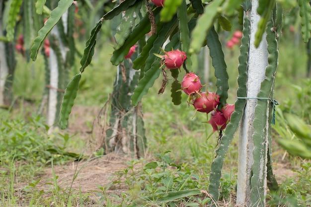 Dragon fruit op plant, raw pitaya fruit op boom