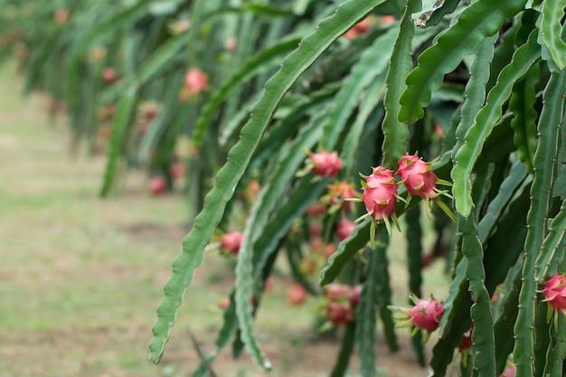 Dragon fruit op plant
